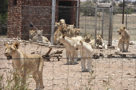 lion hearted the life and death of cecil the future of africas iconic cats