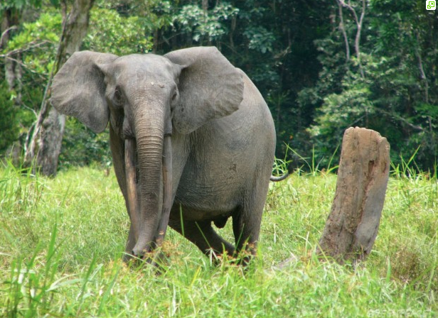 A forest elephant in the Central African Republic. Photo courtesy Greenpeace / Verberen, Filip