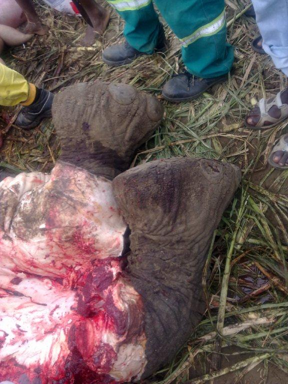 The four male elephants that crossed the fence were shot at Massitonto, apparently by Mozambican police, and were butchered by locals