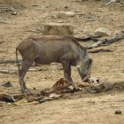 A skinny warthog feeds off the carcass of an antelope that died as a result of uMkhuze's drought. ©