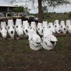 A row of rhino skulls inside Sabie Game Park. The two in front died natural deaths, the ones at the back lost their lives to poachers. Photos by Martin Totland