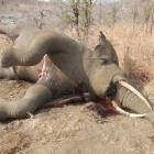 poisoned ellies 2. hwange