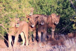 The Five Musketeers are desert-adapted lions that manage to survive in the incredibly harsh conditions of the Kunene rock desert and adjoining Skeleton Coast Park. Photo courtesy Desert Lion Conservation, at http://www.desertlion.info/